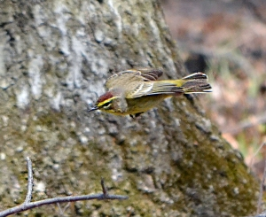 Palm Warbler, Lord Stirling Park, NJ, Apr. 8, 2013 (photo by Zach Batren).