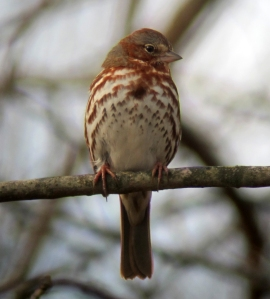 Fox Sparrow at Troy Meadows, NJ, Apr. 7, 2013 (photo by Jonathan Klizas).