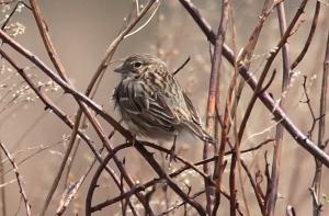 Vesper Sparrow, Troy Meadows, NJ, Apr. 13, 2013 (Photo by Tom Smith).