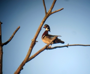 Wood Duck at the Tourne, NJ, Apr. 27, 2013 (photo by Jonathan Klizas).