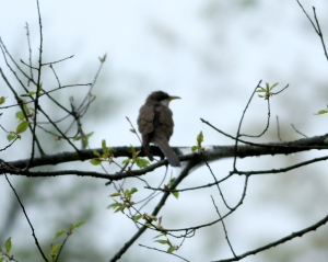Yellow-billed Cuckoo, Franklin Twp., Apr. 29, 2013 (photo by Jeff Elllerbusch)