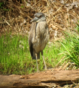 Yellow-crowned Night-Heron, Franklin Twp., Apr. 22, 2013 (photo by Jonathan Klizas)