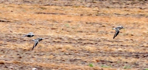 Black-bellied Plovers, Hillsborough Twp., NJ, May 8, 2013 (photo by Jeff Ellerbusch).