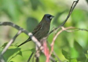 Blue Grosbeak, The Tourne, Denville Twp., May 27, 2013 (photo by To Smith).