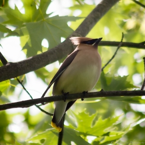 Cedar Waxwing, Glenhurst Meadows, NJ, May 25, 2013 (photo by Robert Gallucci).