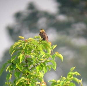 Dickcissel, Negri-Nepote Grassland Preserve, NJ, May 31, 2013 (digiscoped by Jonathan Klizas).