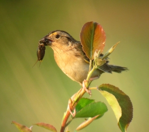 Grasshopper Sparrow, Negri-Nepote Grassland Preserve, NJ, May 31, 2013 (digiscoped by Jonathan Klizas).