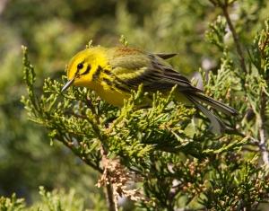 Prairie Warbler, Franklin Twp., May 2, 2013 (photo by Chris Duffek).