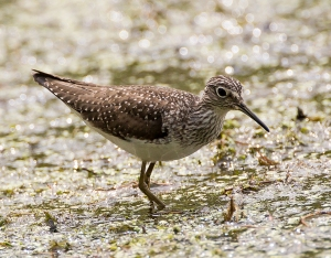 Solitary Sandpiper, Lake Musconetcong, NJ, May 10, 2013 (photo by Mitch Vanbeekum).