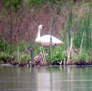 Trumpeter Swan, Mt. Hope Lake, NJ, May 18, 2013 (digiscoped by Jonathan Klizas)
