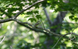 Acadian Flycatcher, Pottersville, NJ, June 25, 2013 (photo by Frank Sencher, Jr.).