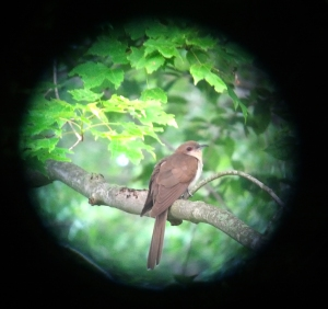 Black-billed Cuckoo, Great Swamp NWR, June 17, 2013 (photo by Jamie Glydon).
