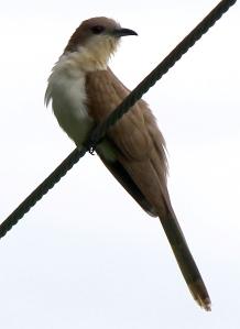 Black-billed Cuckoo, Great Swamp NWR, June 16, 2013 (Photo by Jim Mulvey).