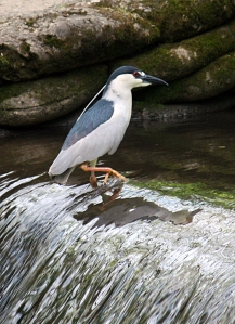 Black-crowned Night-Heron, Chatham, NJ, May 13, 2013 (photo by Dick Plambeck).