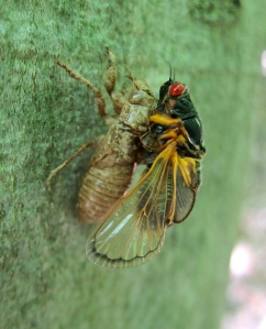Cicada emerging, Jockey Hollow, NJ, June 1, 2013 (photo by Jonathan Klizas).