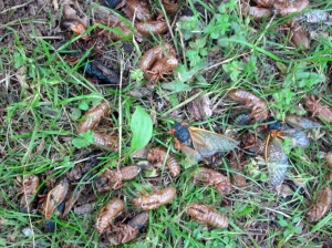 Cicada debris, Jockey Hollow, NJ, June 1, 2013 (photo by Jonathan Klizas).