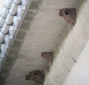Cliff Swallow Colony, I-287 Bridge, Franklin Twp., NJ, June 19, 2013 (digiscoped by Jonathan Klizas).