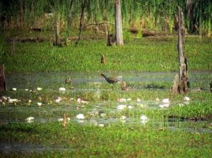 Common Gallinule, Deerhaven Lake, NJ, June 22, 2013 (digiscoped by Jonathan Klizas)
