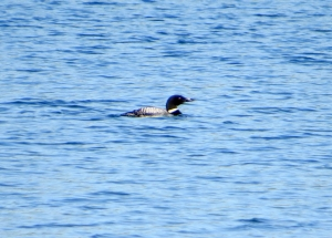 Common Loon, Tilcon Lake, Mt. Olive Twp., NJ, June 17, 2013 (photo by Alan Boyd).