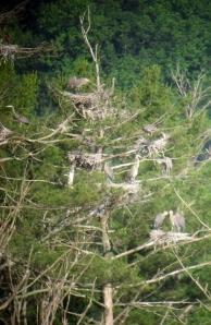 Heronry, Deerhaven Lake, NJ, June 22, 2013 (digiscoped by Jonathan Klizas)