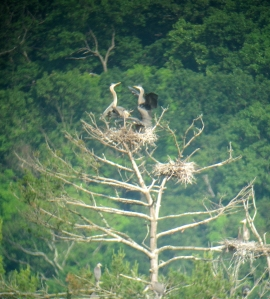 Heronry, Deerhaven Lake, NJ, June 22, 2013 (digiscoped by Jonathan Klizas)