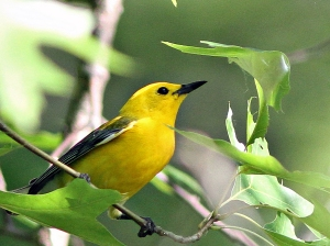 Prothonotary Warbler, Lord Stirling Park, NJ, JUne 22, 2013 (photo by Harvey Tomlinson).