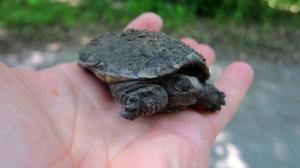 Snapping Turtle, Rockaway NJ, June 23, 2013 (photo by J. Klizas).