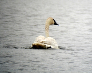 "Trumpeter ""Don't Count Me In"" Swan, Mt. Hope Lake, NJ, June 8, 2013 (digiscoped by Jonathan Klizas)."