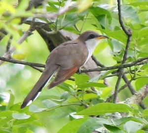 Yellow-billed Cuckoo, Great Swamp NWR, NJ, June 8, 2013 (photo by Jim Mulvey).