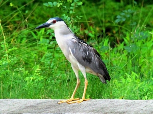 Black-crowned Night-Heron, Best Lake, Watchung, NJ, July 1, 2013 (photo by Jim Mulvey).