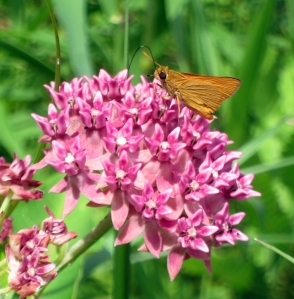 Delaware Skipper, Great Swamp NWR, July 6, 2013 (photo by Jonathan Klizas).