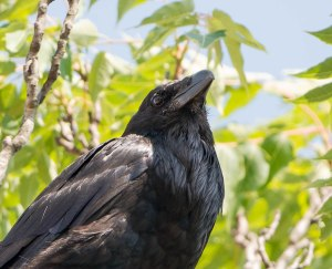 Common Raven, Hanover Twp., NJ, July 10, 2013 (photo by Chuck Hantis).