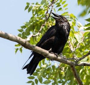 Common Raven, Hanover Twp., NJ, July 10, 2013 (photo by Chuck Hantis).