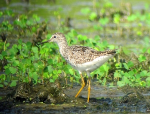Lesser Yellowlegs, Melanie Lane Wetlands, Hanover, NJ, July 18, 2013 (photo by Jonathan Klizas).
