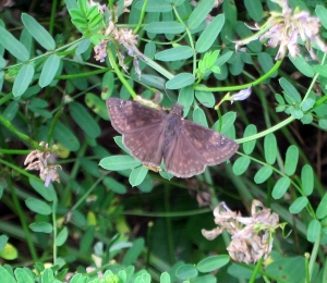 Wild Indigo Duskywing, Boonton Reservoir, MJ, July 9, 2013 (photo by Jonathan Klizas).