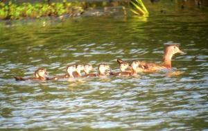 Wood Ducks, Melanie Lane Wetlands, NJ, July 10, 2013 (digiscoped by Jonathan Klizas).