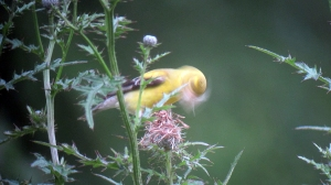 American Goldfinch, Troy Meadows, NJ, Aug. 18, 2013 (digiscoped by Jonathan Klizas).