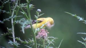 American Goldfinch, Troy Meadows, NJ, Aug. 18, 2013 (digiscoped by Jonathan Klizas).