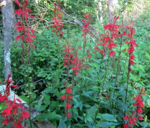 Cardinal Flower, Beaver Brook, Rockaway Twp., NJ, Aug. 11, 2013 (photo by Jonathan Klizas)