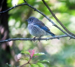 Juvenile Eastern Bluebird, Long Hill, NJ, Aug. 15, 2013 (digiscoped by Jonathan Klizas).