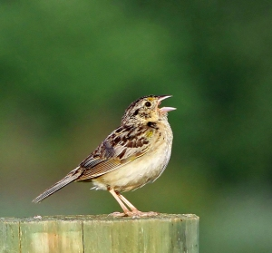 Grasshopper Sparrow, Montgomery Twp., NJ, Aug. 11, 2013 (Photo by Harvey Tomlinson).