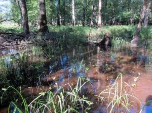 Long Hill Wetlands, NJ, Aug. 15, 2013 (photo by Jonathan Klizas).