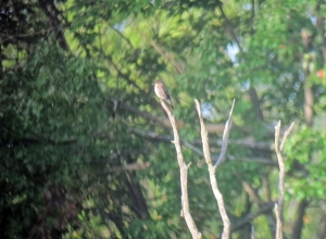 Olive-sided Flycatcher, Rockaway Twp., NJ, Aug. 23, 2013 (digiscoped by Jonathan Klizas)