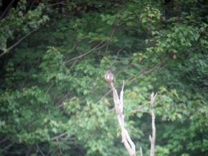 Olive-sided Flycatcher, Rockaway Twp., NJ, Aug. 23, 2013 (digiscoped by Jonathan Klizas)