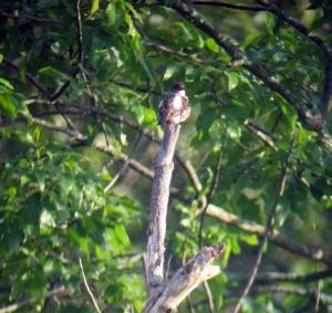 Olive-sided Flycatcher, Rockaway Twp., NJ, Aug. 17, 2013 (digiscoped by Jonathan Klizas)