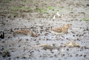 Pectoral Sandpipers, Lincoln Park Gravel Pits, NJ, Aug. 27, 2013 (digiscoped by Jonathan Klizas)