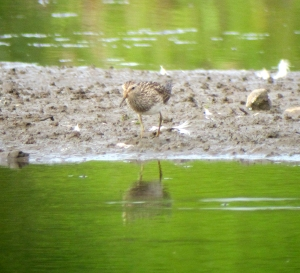 Pectoral Sandpiper, Lincoln Park Gravel Pits, NJ, Aug. 26, 2013 (digiscoped by Jonathan Klizas).