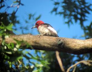 Red-headed Woodpecker, Long Hill, NJ, Aug. 15, 2013 (digiscoped by Jonathan Klizas).