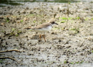 Semipalmated Plover, Lincoln Park Gravel Pits, NJ, Aug. 26, 2013 (digiscoped by Jonathan Klizas).