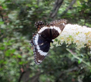 White Admiral, Morris Twp., NJ, Aug. 10, 2013 (photo by Jonathan Klizas).